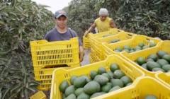 71041 240x140 - Supermercados de Rusia se abastecerán de frutas directamente de Perú