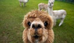 Alpaca 3 PERU RETAIL 248x144 - Día Nacional de la Alpaca: 5 curiosidades que la hacen especial en el mundo