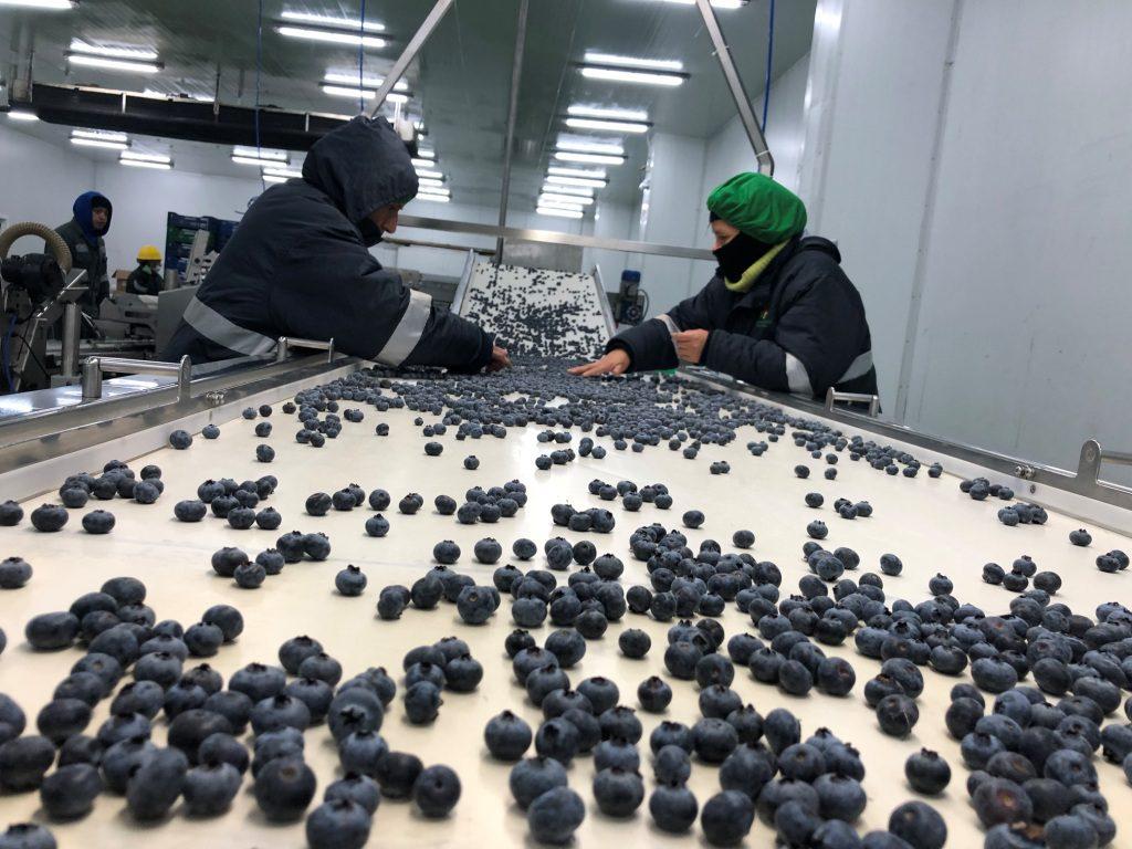 Torre Blanca PeruRetail - Perú: Torre Blanca prevé procesar 250 toneladas de arándanos este año
