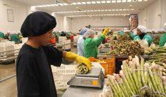 esparragos frescos planta 35 prensa 240x140 - Perú: Agroexportaciones alcanzaron más de US$1.447 millones en el primer trimestre de 2018