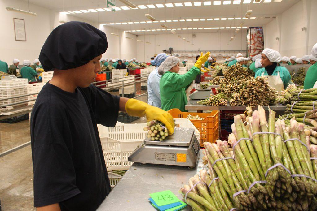 esparragos frescos planta 35 prensa - Perú: Agroexportaciones alcanzaron más de US$1.447 millones en el primer trimestre de 2018