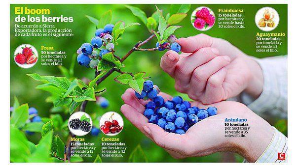 exportacion de berries superar jpg 604x0 - Perú: La frambuesa y los retos para su exportación