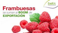 frambuesas beta complejo agroindustrial 240x140 - Perú: La frambuesa y los retos para su exportación