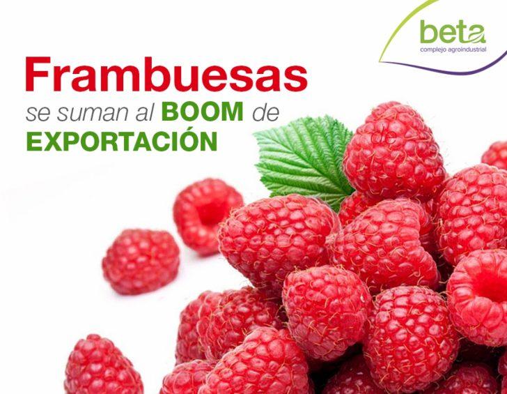 frambuesas beta complejo agroindustrial e1537076077829 - Perú: La frambuesa y los retos para su exportación