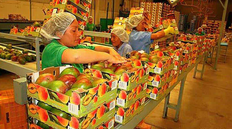 mango-peruano-proceso-para-exportacion