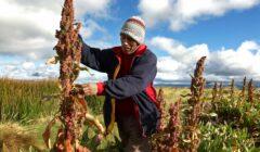 quinua bolivia 240x140 - Bolivia atraviesa desaceleración económica desde 2014, ¿y el PBI en crecimiento?
