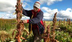 quinua bolivia 248x144 - Bolivia atraviesa desaceleración económica desde 2014, ¿y el PBI en crecimiento?